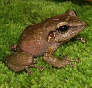 Coqui Frog Picture